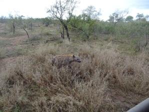 Hyänen um die Jeeps
